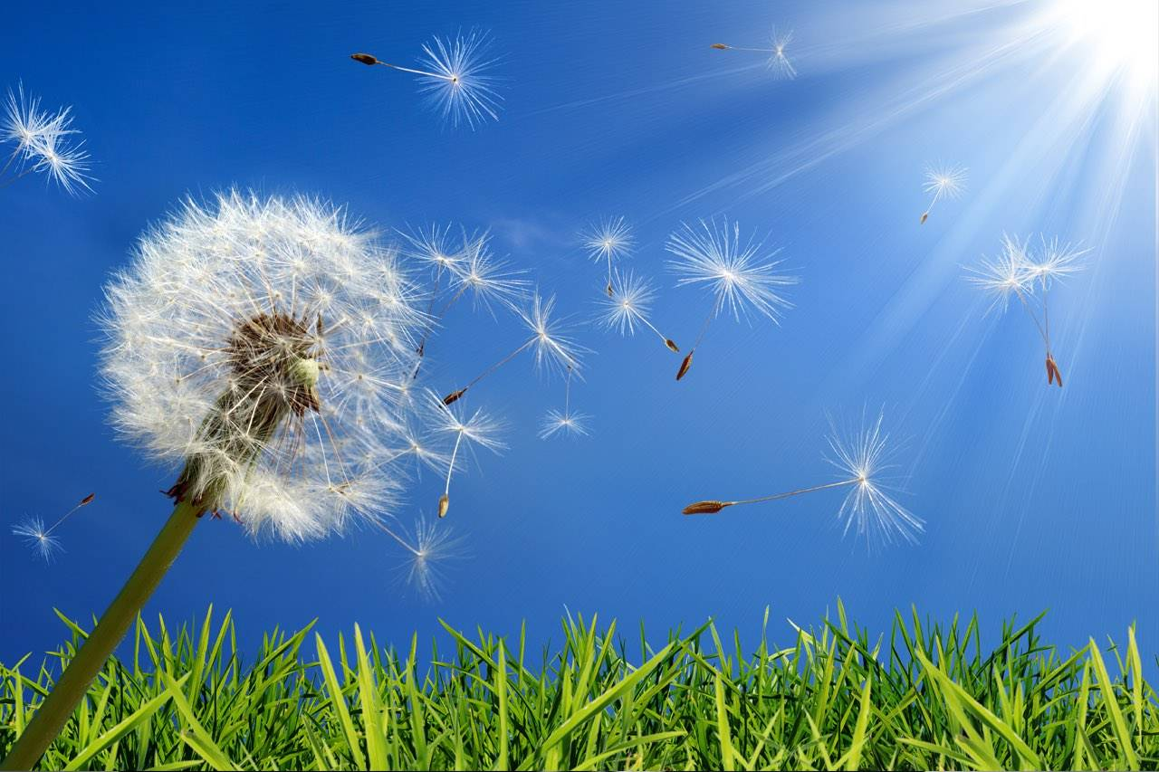allergu-dandelion