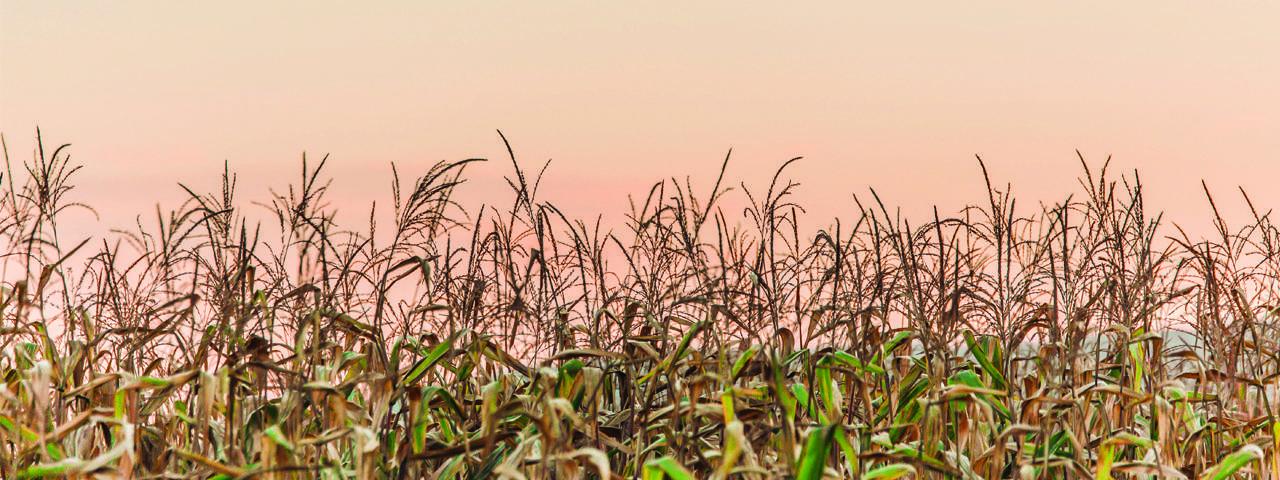 cornfield-slide